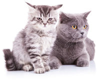 Kitten and adult english cats Stock Photos