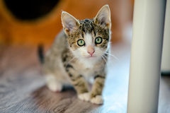 Kitten afraid. age 1 month Royalty Free Stock Photography