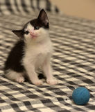 Kitten age one month playing ball Royalty Free Stock Images