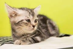 Kitten alone. Sick kitten sleeping alone in cat cafe Royalty Free Stock Photography