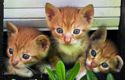 Kitten. A kitten, also known as a kitty or kitty cat, is a juvenile cat. After being born, kittens are totally dependent on their mother for survival and they do Stock Images