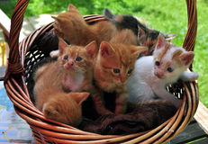 Kitten. A kitten, also known as a kitty or kitty cat, is a juvenile cat. After being born, kittens are totally dependent on their mother for survival and they do Stock Photos
