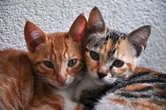 Kitten. A kitten, also known as a kitty or kitty cat, is a juvenile cat. After being born, kittens are totally dependent on their mother for survival Royalty Free Stock Photography
