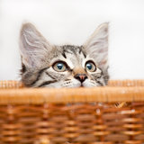 Kitten in ambush Royalty Free Stock Image