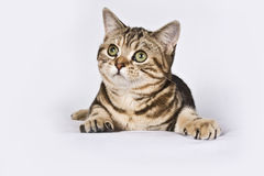Kitten - America Shorthair Cat. An America shorthair cat is being day dreaming royalty free stock photo
