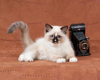 Kitten with antique camera. Ragdoll kitten with antique camera on brown suede backdrop Royalty Free Stock Images