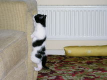 Black and white kitten climbing. Archie looking very determined  on this vertical climb up the sofa arm Stock Photo