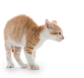 Kitten arching its back. Cute baby kitten arching its back isolated on white background stock photography