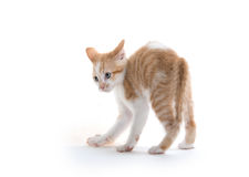 Kitten arching its back. Cute baby kitten arching its back isolated on white background royalty free stock photos