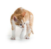 Kitten arching its back. Cute baby kitten arching its back isolated on white background royalty free stock image