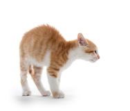 Kitten arching its back. Cute baby kitten arching its back on white background stock photography