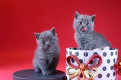 Kitten as Christmas gift in a present box, red background royalty free stock image