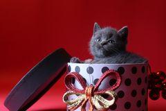 Kitten as Christmas gift in a present box, red background royalty free stock photos