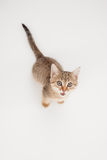 Kitten asking for food Royalty Free Stock Photography