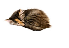 Kitten Asleep in a Ball. Tortoiseshell kitten asleepin a ball on a white background Stock Image