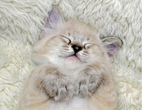 Kitten Asleep on His Back. A cute kitten asleep with his paws under his chin royalty free stock photos