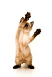 Kitten Attack. Baby Siamese kitten, playing, on white background Royalty Free Stock Images