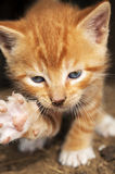 Kitten kitty cat Stock Photography