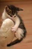 Kitten attacked the human leg Stock Image