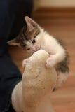 Kitten attacked the human leg Stock Photos
