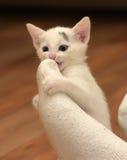 Kitten attacked the human leg Stock Photo