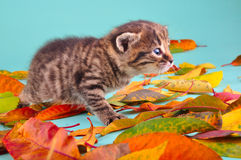 Kitten in autumn leaves Royalty Free Stock Photography