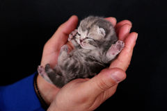 Kitten babies. Cat babies, British Shorthair breed, in the hands of a girl Royalty Free Stock Images