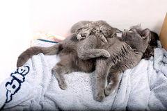 Kitten babies climbing on mother cat Stock Photos