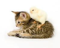Kitten and baby chick. A chick stands on a kitten on white background. Both are being raised on a farm in Illinois Stock Photography