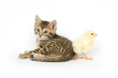 Kitten and baby chick Stock Photos