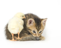 Kitten and baby chick. A chick stands on the tail of a kitten on a white background. Both are being raised on a farm in Illinois Stock Image