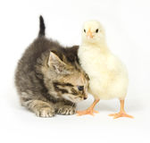 Kitten and baby chick. A kitten nudges a baby chick on a white background. Both are being raised on a farm in Illinois Royalty Free Stock Photo