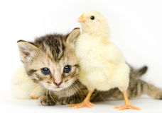 Kitten and baby chick. A kitten surrounded by baby chicks on white background. Both are being raised on a farm in Illinois Royalty Free Stock Image