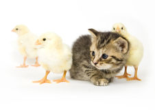 Kitten and baby chick. A kitten surrounded by baby chicks on white background. Both are being raised on a farm in Illinois Royalty Free Stock Photography