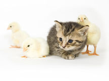 Kitten and baby chick. A kitten surrounded by baby chicks on white background. Both are being raised on a farm in Illinois Royalty Free Stock Photos