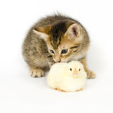 Kitten and baby chick. A kitten licks a baby chick on white background. Both are being raised on a farm in Illinois Stock Photography