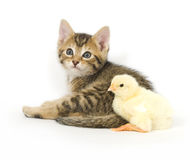Kitten and baby chick. A kitten and baby chick sit next to each other on a white background. Both are being raised on a farm in Illinois Royalty Free Stock Photo