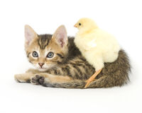 Kitten and baby chick. A chick stands on a kitten on white background. Both are being raised on a farm in Illinois Royalty Free Stock Photo