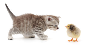 Kitten and baby chick. A baby chick and tabby kitten on white background Royalty Free Stock Photos