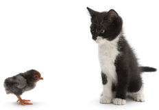 Kitten and baby chicken Stock Photos
