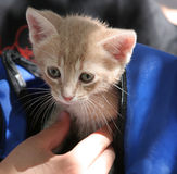 Kitten in Backpack. An adorable tabby kitten peaking out of a backpack Royalty Free Stock Images