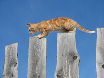 Kitten balancing on fence. Side view of cute ginger kitten balancing on wooden fence; blue sky background Royalty Free Stock Images