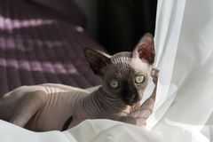 Kitten bald Sphynx plays with tulle Royalty Free Stock Photo