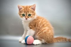 Kitten with a ball on a gray background Royalty Free Stock Images