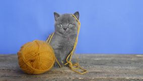 Kitten with a ball of thread. Funny British Shorthair kitten playing with a ball of thread stock footage