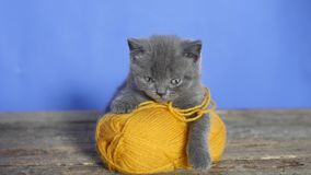 Kitten with a ball of thread. Funny British Shorthair kitten playing with a ball of thread stock video footage
