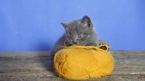 Kitten with a ball of thread. Funny British Shorthair kitten playing with a ball of thread stock video