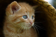 The kitten in basket Royalty Free Stock Photography