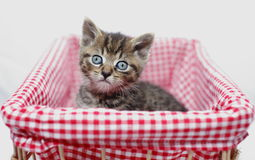Kitten in basket. Tabby kitten in red chequered basket with big eyes Royalty Free Stock Photos