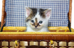 Kitten in a basket. A horizontal picture of one white and brown kitten with blue eyes peeking out of a wicker picnic basket with a blue and white gingham Royalty Free Stock Images